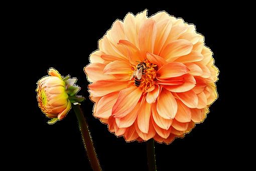 Dahlia, Dahlias, Bees, Autumn, Asteraceae