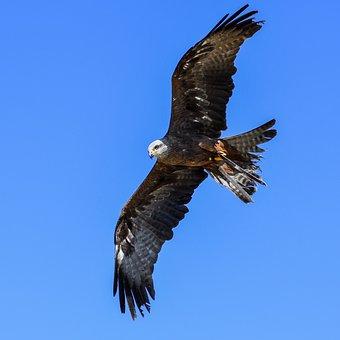 Buzzard, Raptor, Flight, Bird, Sky, Blue