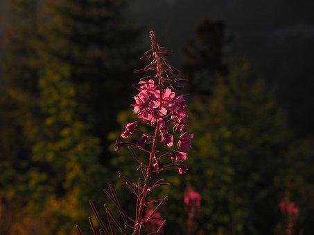 Epilobium Angustifolium, Flower, Blossom, Bloom