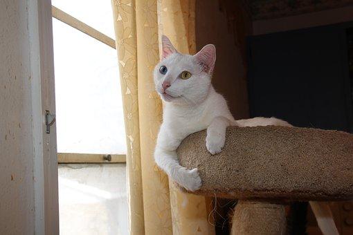 Cat, Kitty, White, White Cat, Odd Eyed, Blue Eye