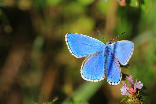 Butterfly, Blue, Insect, Nature, Macro, Wings, Color