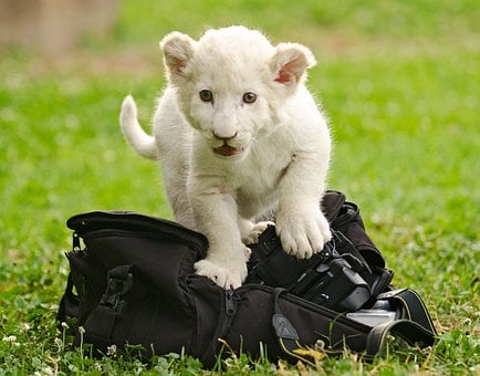 Lion White, Cub, Baby, Cute, Camera, Bag, Explore