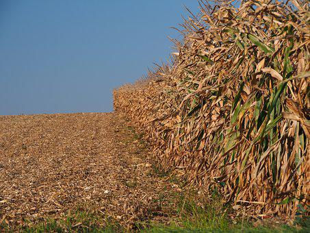 Harvest, Cornfield, Arable, Field, Corn, Agriculture
