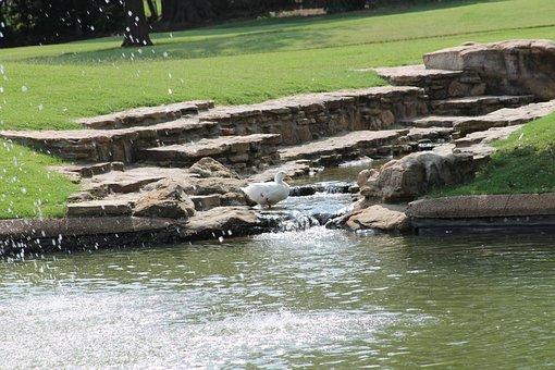 Japanese Garden, Bartlett, Tennessee, Duck, Pond, Bird