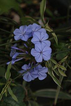 Plumbago, Flower, Blue Flower, Blue, Climbing
