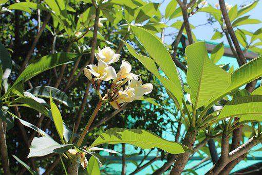 Fragrapanti, More Information, Flowers, White Flowers