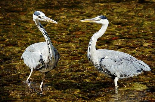 Heron, Bird, Nature, Eastern, Plumage, Animal World