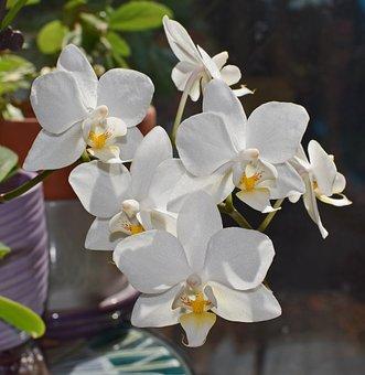 Hybrid Phalaenopsis, Phalaenopsis, Orchid, Yellow