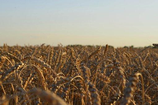 Field, Wheat, Summer, Nature, Kolos, Sky, Wheat Ripens