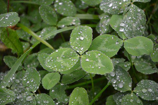 Clover, Leaf Clovers Green, Droplets Of Rain, Water
