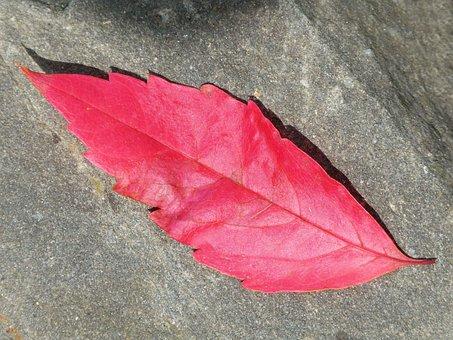 Red Leaf, Autumn, Slate, Leaf