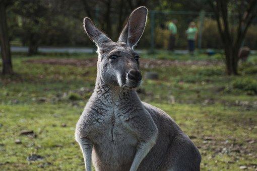 Animal, Kangaroo, Zoo, Mammal, Australia
