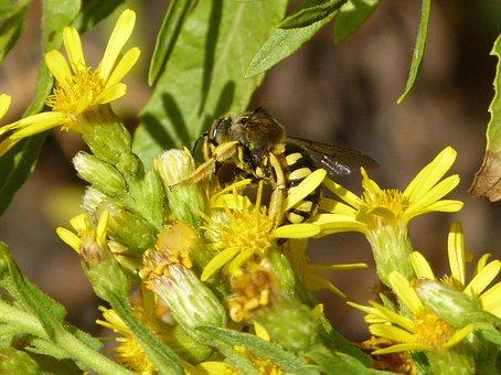 Hornet, Wild Flower, Libar, Megascolia Maculata