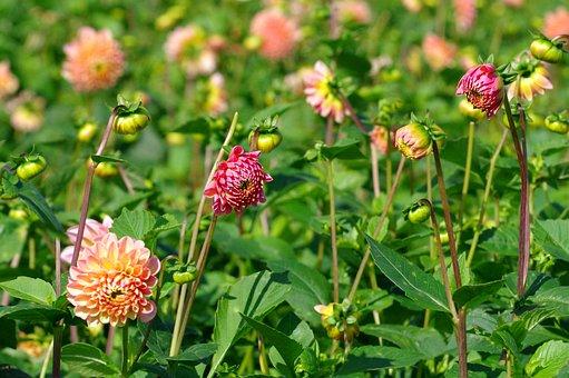 Dahlias, Blossom, Bloom, Red Dahlia, Dahlia Garden