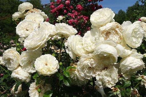 Roses, White, Flower, White Rose, White Roses, Nature