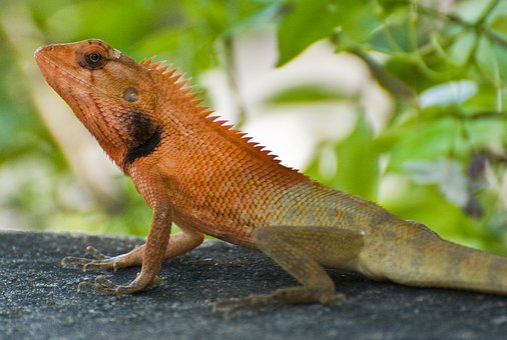 Garden Fence Lizard, Thailand, Asia, Calotes, Fence