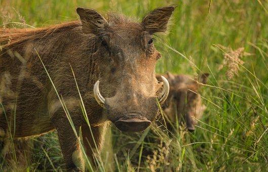 Warthog, Tusks, Ivory, Warts, Savanna, Safari, Pig