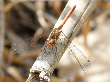 Dragonfly, Dragonfly Red, American Cane, Winged Insect