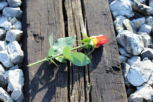 Yellow Red Rose On Railway, Between Tracks