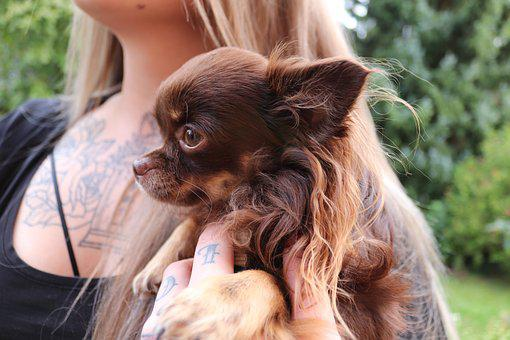 Animal, Dog, Girl, Chihuahua, Small, Small Dog, Cute