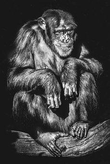 Portrait, Primate, Monkey, Ape, Adult, Chimpanzee