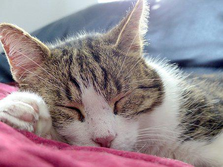 Cat, Asleep, Calm, Cat Sleeping, Domestic Animal