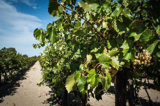 Vineyard, Autumn, Garden, Agriculture, Landscape