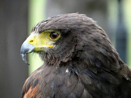 Hawk, Claws, Beak, Bird Of Prey, Eyes, Wisdom, Predator