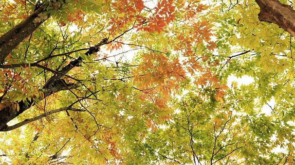 Autumn, Fall, Leaf, Leaves, Tree, Trees, Beautiful