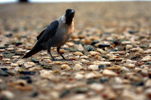 Crow, On Rocky Surface, Corvus, Bird, Grey-necked
