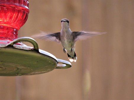Bird, Bird In Flight, Hummingbird, Wildlife