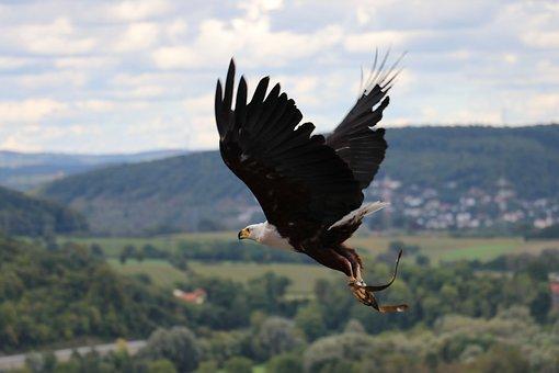 Adler, Eagle, Flying Eagle, Castle Guttenberg, Raptor