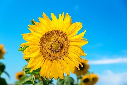 Sunflower, Korea, Sf, Festival, September, Mountain