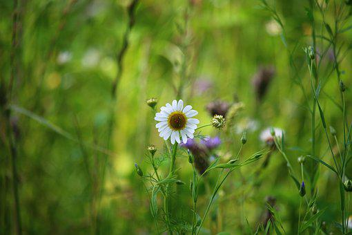 Daisy, Flower, Field, Nature, White, Macro, Garden