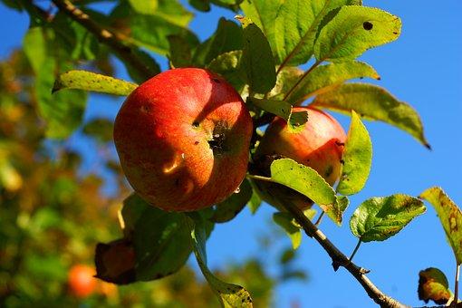 Apple Tree, Apple, Autumn, Ripe, Close, Fruit, Nature
