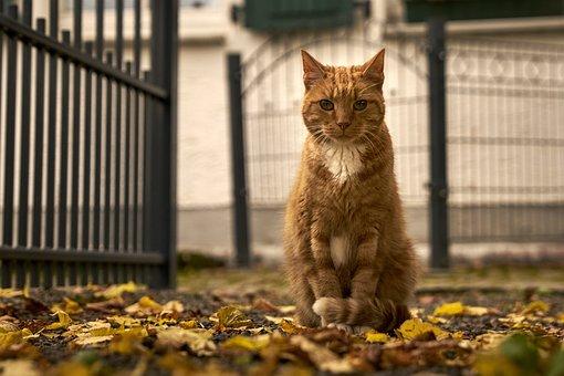 Cat, Red Tomcat, Pet, Hangover Watched, Domestic Cat