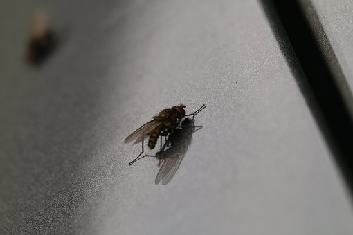 Fly, Macro, Insect, Nature, Close, Animal