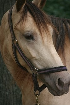 Horse, Equine, Animal, Stallion, Mammal, Farm, Portrait