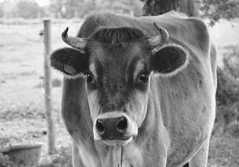 Cow, Photo Black White, Nature, Prairie, Pre