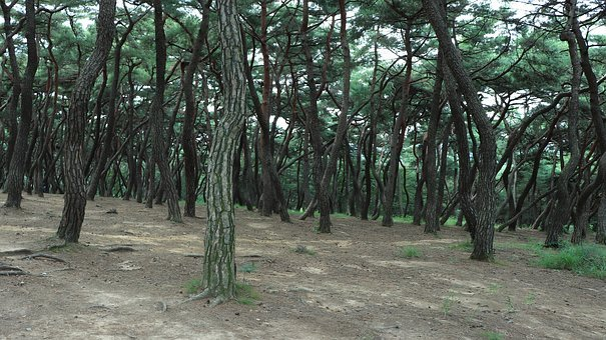 Pine, Tree, Pinetree, Pine Tree, Trees, Plant, Plants
