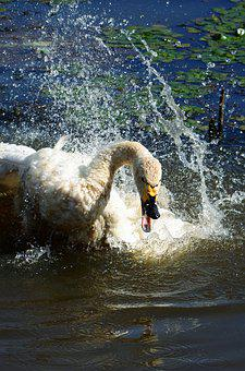 Animal, Pond, Waterside, Swan, Cygnus Columbianus