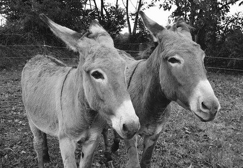 Donkeys, Photo Black White, Portrait, Ride Horses