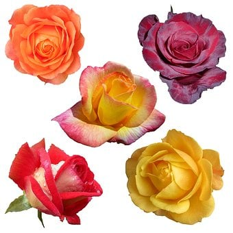 Roses, Collage, Collection, Isolated, White, Background