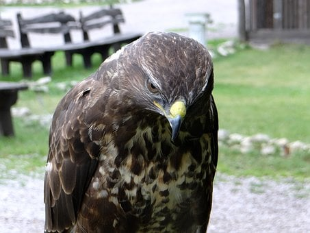 Hawk, Sadness, Claws, Beak, Bird Of Prey, Eyes, Wisdom