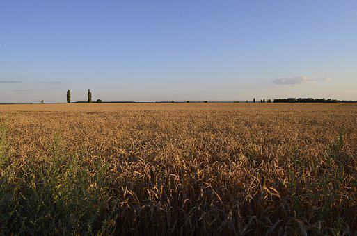 Field, Wheat, Nature, Summer, Kolos, Sky, Wheat Ripens