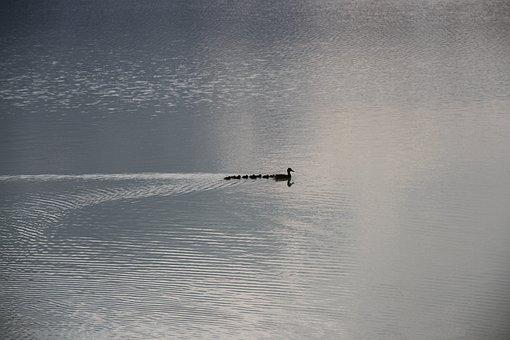Duck Family, River, Lake, Duck, Bird, Swim, Water