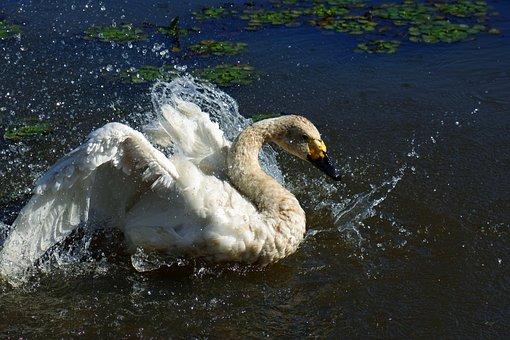 Animal, Pond, Waterside, Swan, Cygnus Columbianus