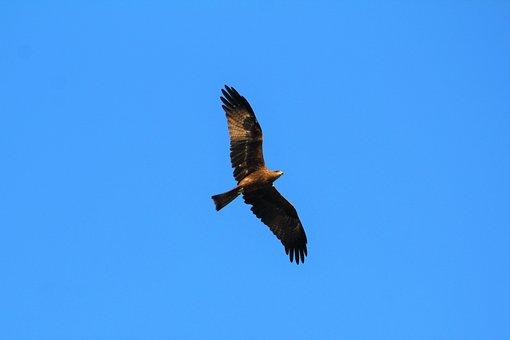 Black, Kite, Nature, Bird, Wildlife, Flying, Flight