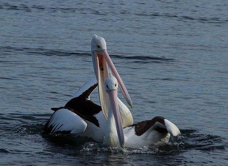 Pelican, Couple, Happy, Pair, Animal, Water, Water Bird