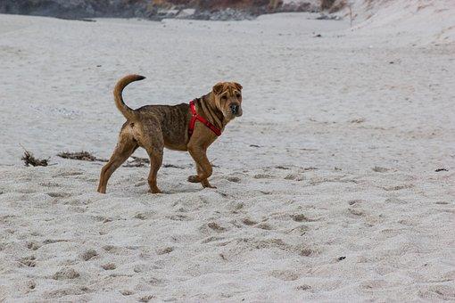 Beach, Dog, Shar Pei, Pet, Sand, Animal, Bitch, Puppy